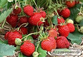Продам розсаду 30 сортів полуниці.Альба, корона, інші