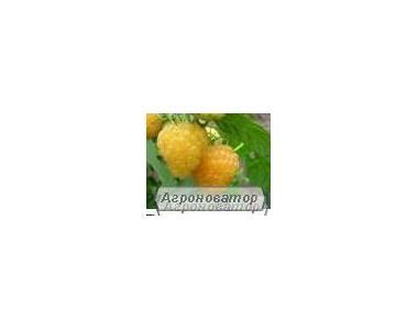 Жовтоплідна, ремонтантна малина Поранна Роса (Ранкова роса)