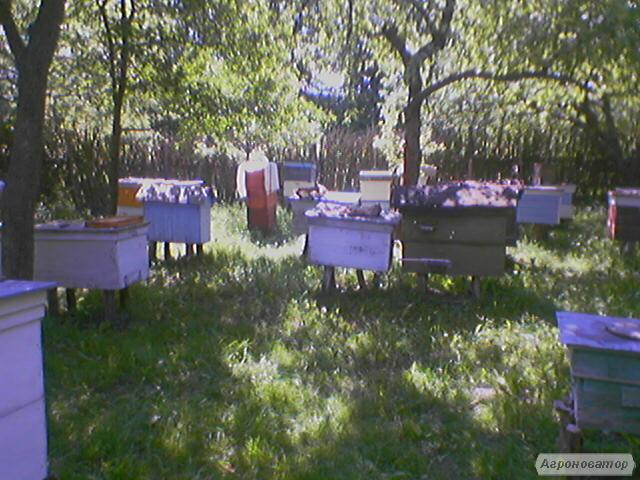 Продам бджолопакети до 30 шт.