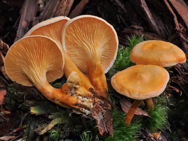 Мицелий Лисички ложной / Говорушка оранжевая (Hygrophoropsis aurantiaca)