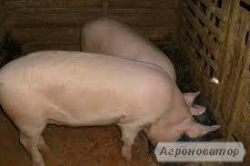 Продам свинью на живой вес