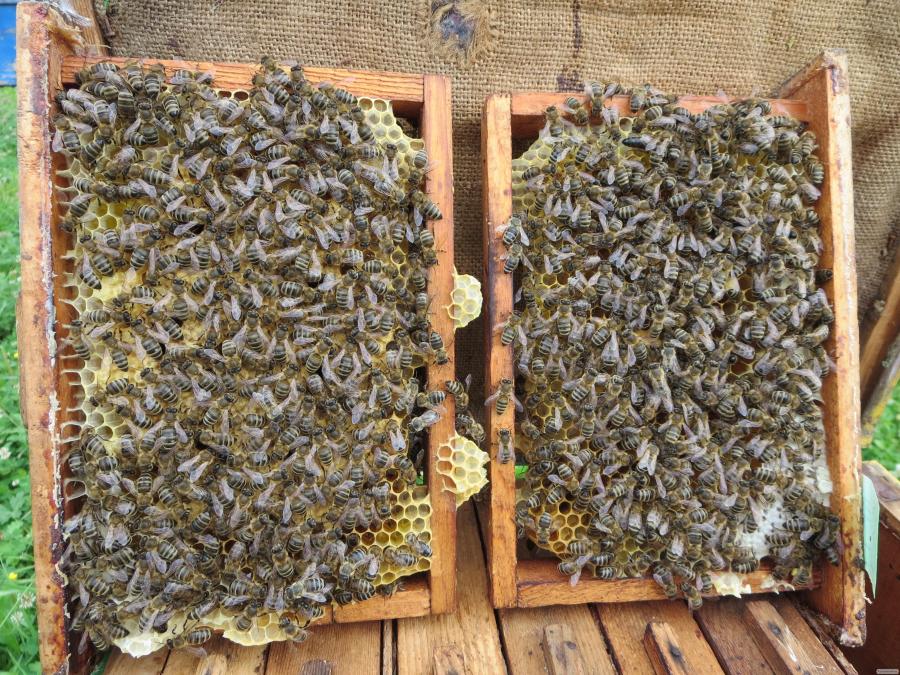 Продам плідні  бджоломатки
