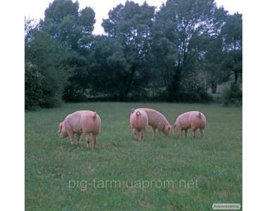 Поросята, свині живою вагою