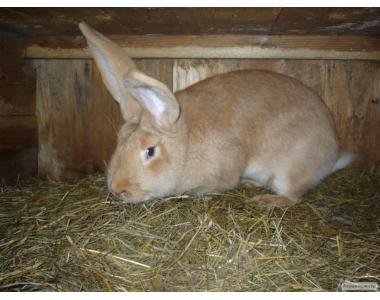 Продаются кролики породы РИЗЕН ГЕЛБ