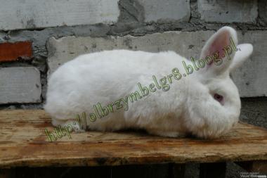 Кролики мясных пород Новозеландский белый