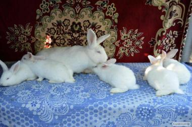 Кролики мясной породы белый панон