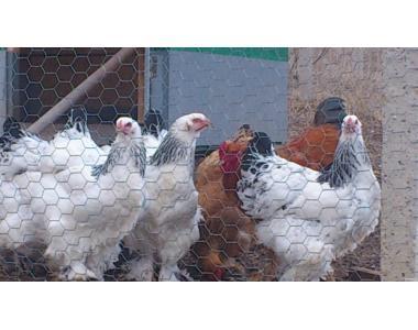Продам подрощенных цыплят светлой брамы