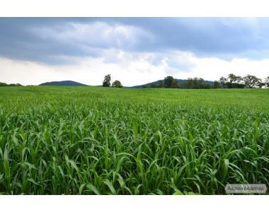 Насіння кормових трав (суданка)