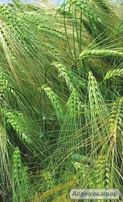 Семена ячменя озимого - сорт ЛУРАН. Чешская селекция