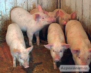 ДЕШЕВО!!!Куплю малих поросят та дорослих свиней!
