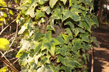 Плющи пёстролистые (желто-зелёные, бело-зелёные)