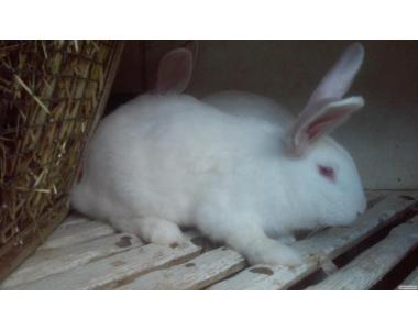 кролик белый панон