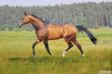 Предлагаются к продаже лошади ахалтекинской породы,