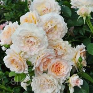 Роза английская Excalibur (Экскалибур) (F)