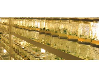 Оздоровлені саджанці in vitro