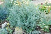 Пропонуємо розсаду Лаванди (Lavandula Spica)