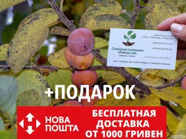 Хурма виргинская американская семена (20 штук)