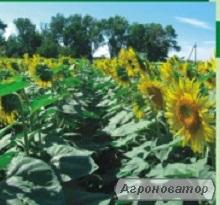 Насіння соняшнику Флоренція (Сербія)