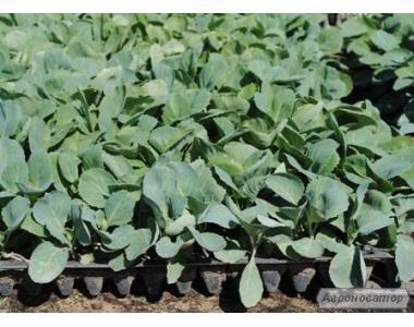 Продам рассаду овощных культур