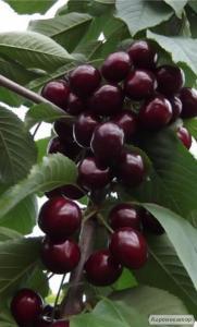 Черешня новинка красная крупноплодная саженцы