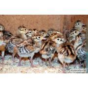 Продам фазана мисливського