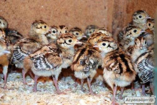 Продам фазана охотничего