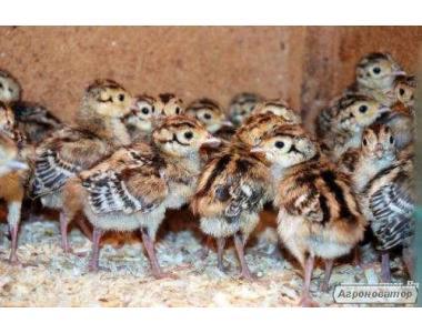 Продам фазана мисливської