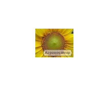 Семена подсолнечника Бонд ВНИС (гранстарустойчивые)