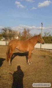 Терміново Продам кобилу (кобила)