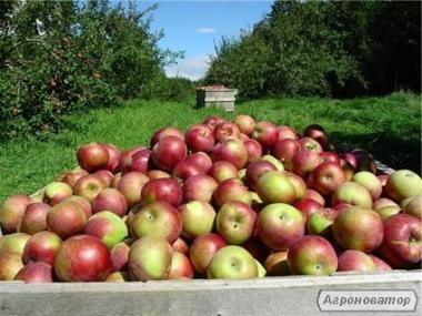 Продам яблука оптом, Харківська обл.