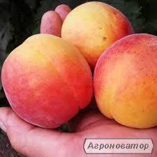 Саджанці абрикоса НЖА 19
