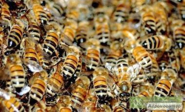 Продам бджолосім'ї у Вінницькій області