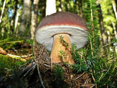 Міцелій Білого гриба ялинового / Боровик (Boletus edulis)