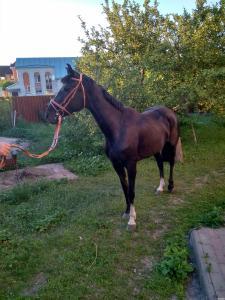Продается Украинская верховая кобыла