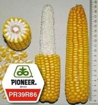 Кукуруза пионер ПР39Р86 / PR39R86 ФАО 250