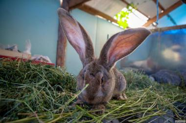 Продаю кролів породи Бельгійський Велетень (Фландр, Різен)