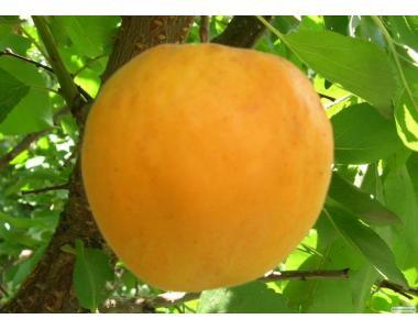 Саджанці абрикоса сорту Голд Річ відмінної якості, від виробника