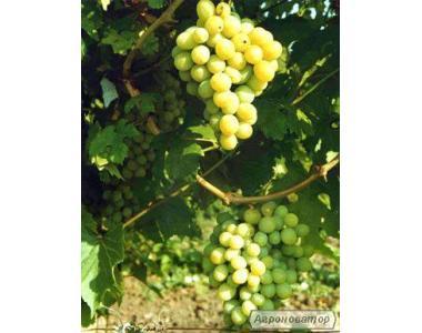 Саджанці винограду Кеша і аркадія