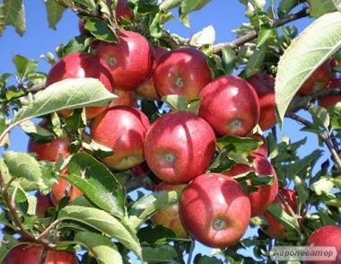 продам яблука зимових сортів опт