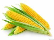 Гібрид кукурудзи Амарок (ВНІС)