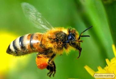 Перга бджолина очищена, Продаж перги бджолиної з доставкою по Україн
