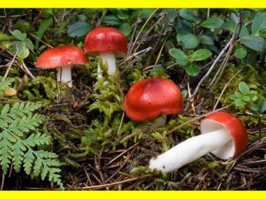 Мицелий Сыроежки болотной / Поплавуха (Russula paludosa)
