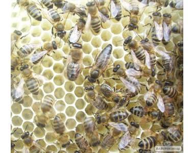 Бджоломатки карпатської популяції в 2018 році