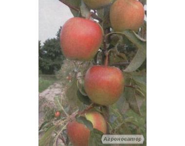 Саджанці яблуні Пінова