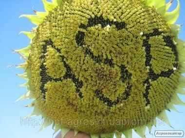 Семена подсолнечника Бенето F1,
