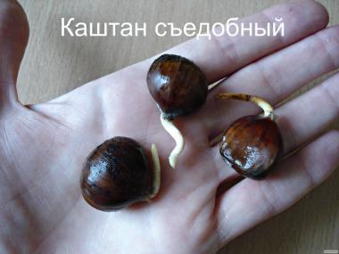 Каштан їстівний (каштан посівний) саджанці