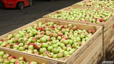 Яблоки из холодильной камеры оптом