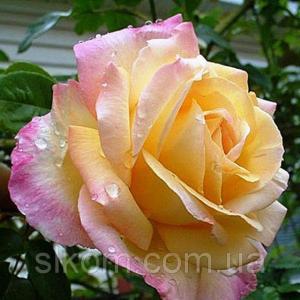 Роза желто-розовая чайно-гибридная Peace (Пис)