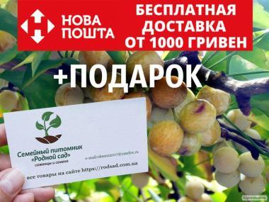 Гинкго билоба семена 10 шт(гинко, гинго, гингко) для саженцев