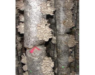 міцелій гливи гриби вирощування пакети Полтава